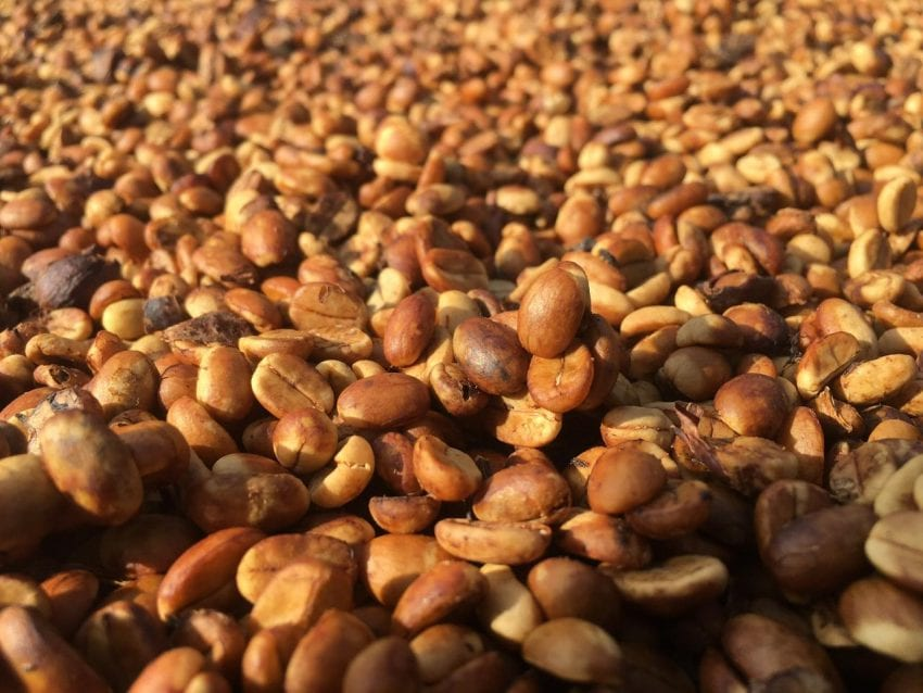 cafe-tu-nhien-giai-doan-kho-duoi-anh-mat-troi